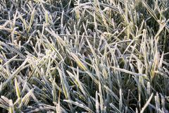 Frozen grass. First sun rays on a Frozen grass which was affected by first frost in the end of November Royalty Free Stock Photography