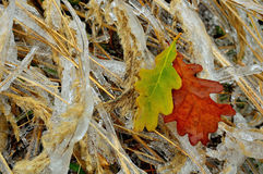 Frozen grass and oak leaf Royalty Free Stock Photo
