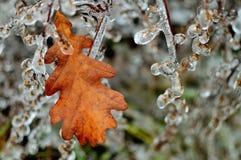 Frozen branch and oak leaf Stock Photo
