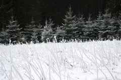Frozen Grass on Snow covered Field. With frozen spruce trees in the background Stock Photos