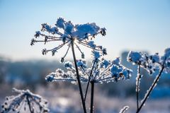 Frozen grass in snow Stock Image