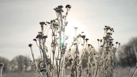 Frozen grass sunlight sways in the wind in the winter snow falls nature beautiful sun glare. Frozen grass sunlight sways in the wind in winter snow falls nature Stock Photography