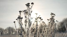 Frozen grass sunlight sways in the wind in the winter snow falls nature beautiful sun glare. Frozen grass sunlight sways in the wind in winter snow falls nature Royalty Free Stock Images
