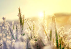 Frozen grass at sunrise close up. Nature background Stock Image