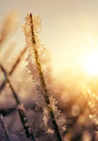 Frozen grass at sunrise close up. Royalty Free Stock Photo