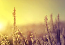 Frozen grass at sunrise close up. Royalty Free Stock Photography
