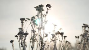 Frozen grass sways sunlight in the wind in the winter snow falls nature beautiful sun glare. Frozen grass sways sunlight in the wind in winter snow falls nature Royalty Free Stock Photography