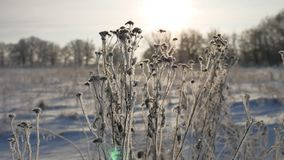 Frozen grass sways in the wind sunlight in the winter snow falls nature beautiful sun glare. Frozen grass sways in wind sunlight in the winter snow falls nature Royalty Free Stock Photo