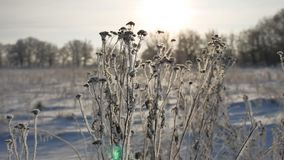 Frozen grass sways in the wind sunlight in the winter snow falls nature beautiful sun glare. Frozen grass sways in wind sunlight in the winter snow falls nature Royalty Free Stock Photography