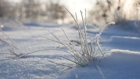 Frozen grass sways in the wind in the winter snow falls nature beautiful sunlight sun glare. Frozen grass sways in the wind in winter snow falls nature beautiful Royalty Free Stock Photos