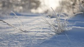 Frozen grass sways in the wind in the winter snow falls nature sunlight beautiful sun glare. Frozen grass sways in the wind in winter snow falls nature sunlight Royalty Free Stock Photography