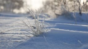 Frozen grass sways in the wind in the winter snow falls sunlight nature beautiful sun glare. Frozen grass sways in the wind in winter snow falls sunlight nature Stock Photo