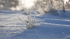 Frozen grass sways in the wind in the winter snow falls sunlight nature beautiful sun glare. Frozen grass sways in the wind in winter snow falls sunlight nature Stock Photography