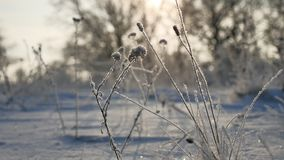 Frozen grass sways in the wind in the winter snow sunlight falls nature beautiful sun glare. Frozen grass sways in the wind in winter snow sunlight falls nature Royalty Free Stock Images
