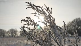 Frozen grass sways in the wind in the winter sunlight snow falls nature beautiful sun glare. Frozen grass sways in the wind in winter sunlight snow falls nature Royalty Free Stock Images