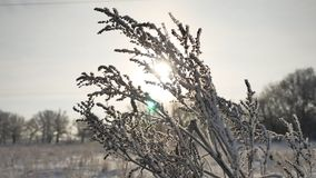 Frozen grass sways in the wind in the winter sunlight snow falls nature beautiful sun glare. Frozen grass sways in the wind in winter sunlight snow falls nature Stock Photography