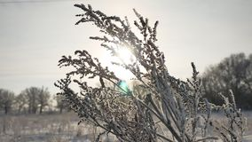 Frozen grass sways in the wind in the winter sunlight snow falls nature beautiful sun glare. Frozen grass sways in the wind in winter sunlight snow falls nature Stock Image