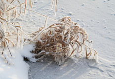 Frozen grass. Frozen tussock of sear grass on the bank of a river covered with ice in winter Royalty Free Stock Images