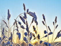 Frozen grass. At winter sunrise as a natural background royalty free stock photography