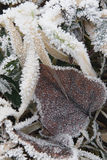 Frozen grasses with leaf Royalty Free Stock Photos