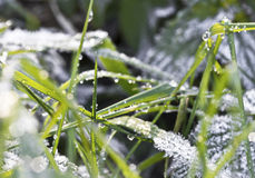 Frozen green grass Royalty Free Stock Photography