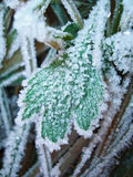 Frozen green leaf coverd of ice. The Frozen green leaf coverd of ice Stock Images