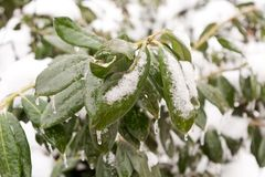 Frozen green leaves Royalty Free Stock Images