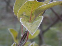 Frozen green leaves. Focued frozen leaves Royalty Free Stock Photography