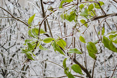 Frozen green leaves. Ice green tree after freezing rain Stock Images