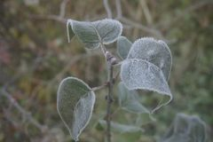 Frozen green leaves of plant with frost-dew on it. Close-up of frozen green leaves with frost-dew on it. Cold autumn morning Stock Photos