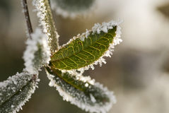 Frozen green plant Stock Photography