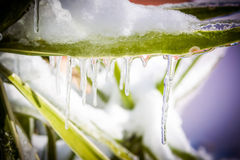 Frozen greenery, bushes and flowers in the garden in winter Stock Images