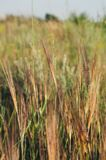Thin, long, hard, brown threads of spikelets under the sunlight in a field. stock photography