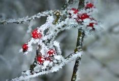 Frozen hawthorn Royalty Free Stock Photos