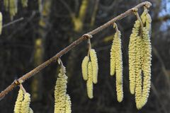 Frozen Hazel Catkins bathing in the early morning Sunshine. Hazel - Corylus Avellana - is a native broad leaved deciduous tree found in the British Isles. Here royalty free stock photo