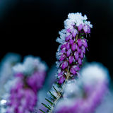 Frozen Heather. Detail of a frozen heather plant in the garden stock images