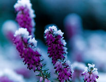 Frozen Heather Stock Photo