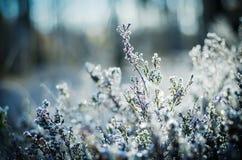 Frozen heather flower Stock Images