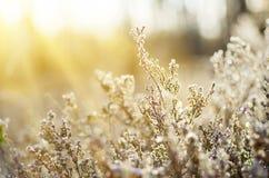 Frozen heather flower Royalty Free Stock Photo