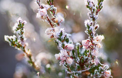 Frozen heather flower Royalty Free Stock Images