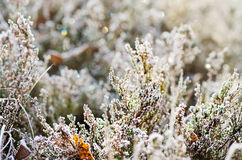 Frozen heather flower Stock Photography