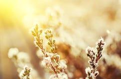 Frozen heather flower Royalty Free Stock Image