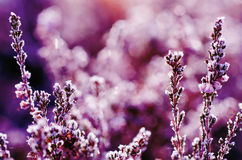 Frozen heather flower Royalty Free Stock Photography