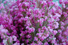 Frozen Heather plant. Close up of a frozen Heather plant Royalty Free Stock Photos