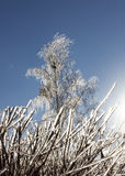 Frozen hedge and birch covered with ice Stock Images