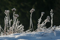 Frozen herbage in morning sunlight. Frosted grass and ice covered herbs backlit by the sun beams Royalty Free Stock Photos