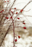 Frozen hip-berry branch Stock Photography