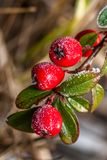 Frozen holly berrie royalty free stock image
