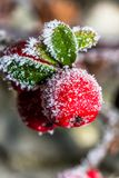 Frozen holly berrie. Winter holly berrie. White frosted and snowy twig red holly berries stock image