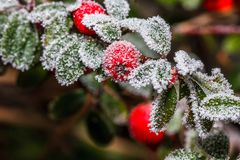 Frozen holly berrie. Winter holly berrie. White frosted and snowy twig red holly berries stock photos